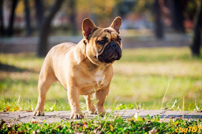 giong-cho-bulldog-phap
