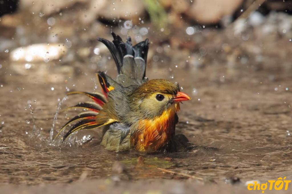 tắm cho chim quế lâm