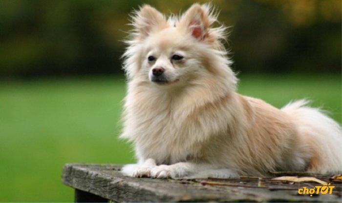 Mua chó Fox lai Nhật giá rẻ