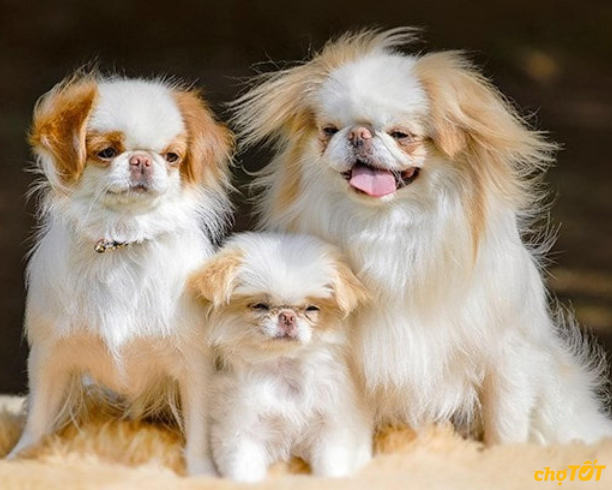 Chó Nhật rất thân thiện với mọi người