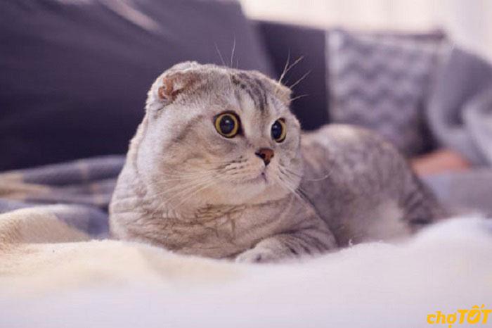 Mua mèo tai cụp thuần chủng, lai tại Chợ Tốt