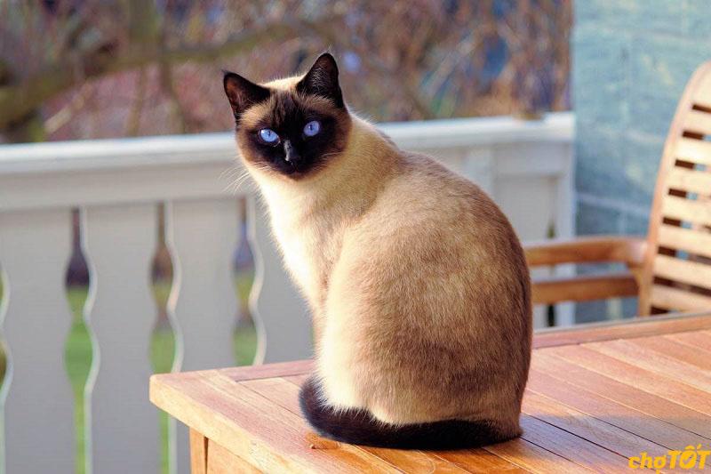 Mèo Xiêm có nguồn gốc từ Thái Lan