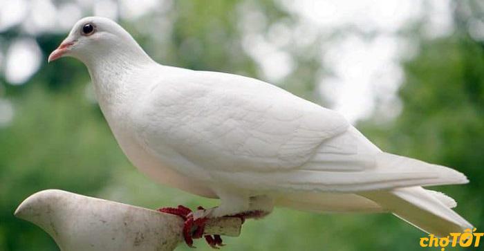Nguồn gốc chim bồ câu