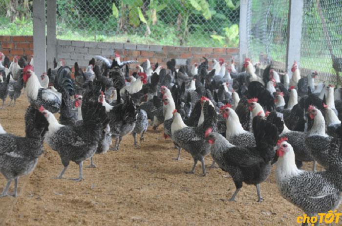 Phòng bệnh cho gà ai cập