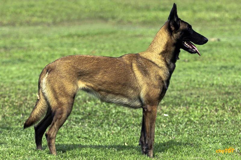 Chó Malinois có đắt không