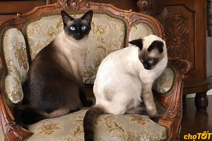 Mèo xiêm có ngoại hình quý tộc, kiêu sa