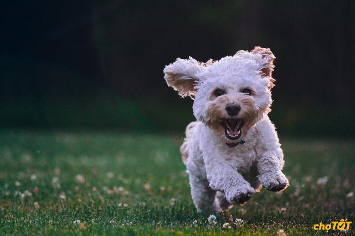 Đặc điểm tính cách chó Poodle
