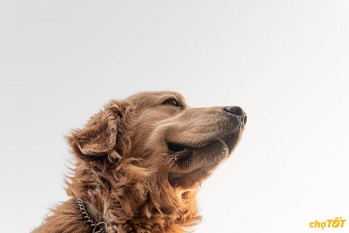 Mua chó Golden trên Chợ Tốt
