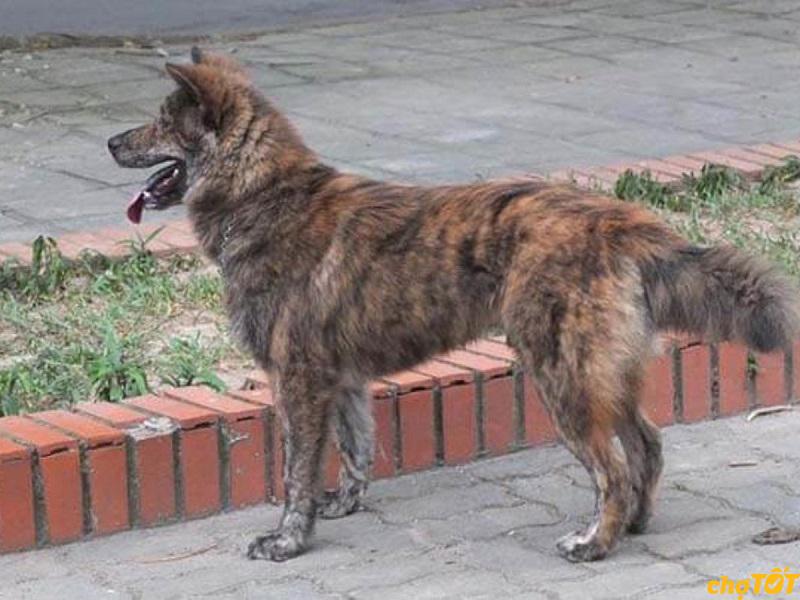 Chó Bắc Hà có khả năng sinh tồn cao