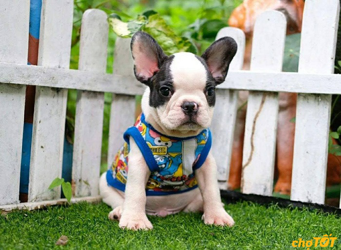 cham-soc-cho-Bulldog-o-viet-nam-co-kho-khong