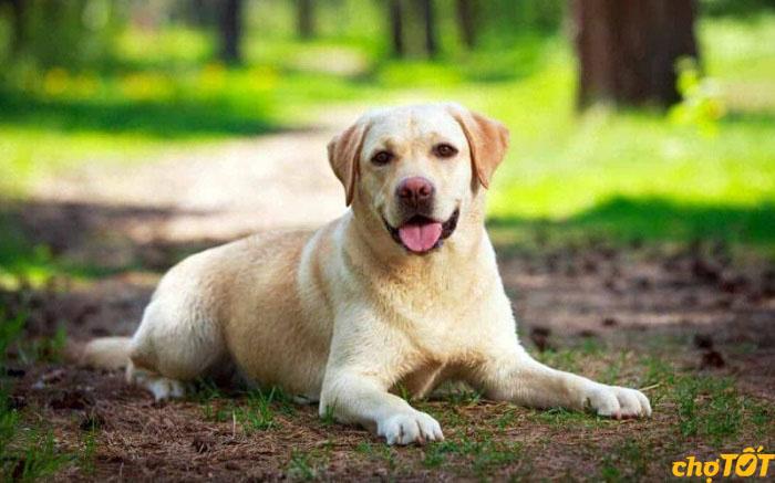 Labrador là loài chó trung thành tuyệt đối