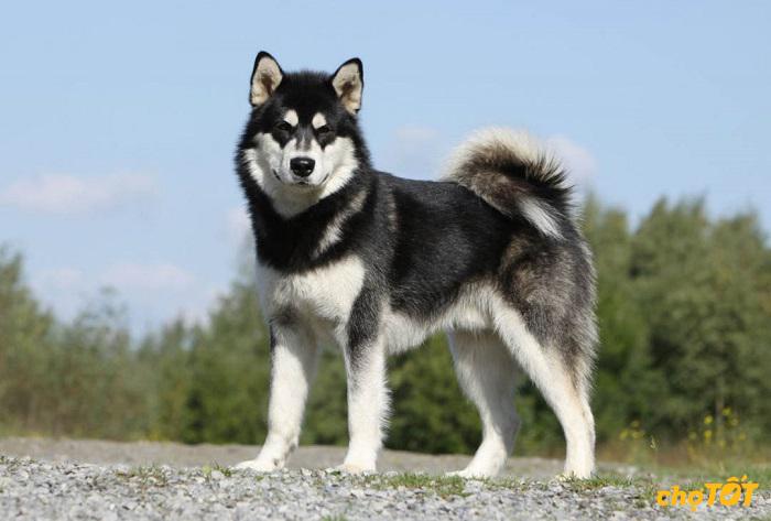 cho-Alaska-Malamute