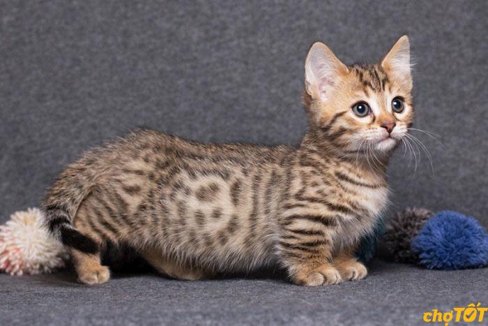 Mèo Munchkin độc lạ