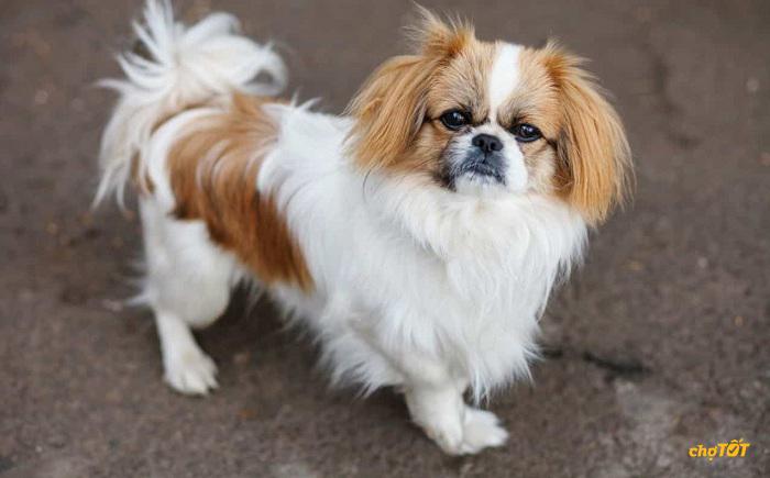 Chế độ dinh dưỡng cho chó Bắc Kinh