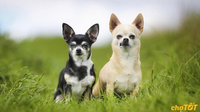 Chihuahua có nguồn gốc từ mêxico