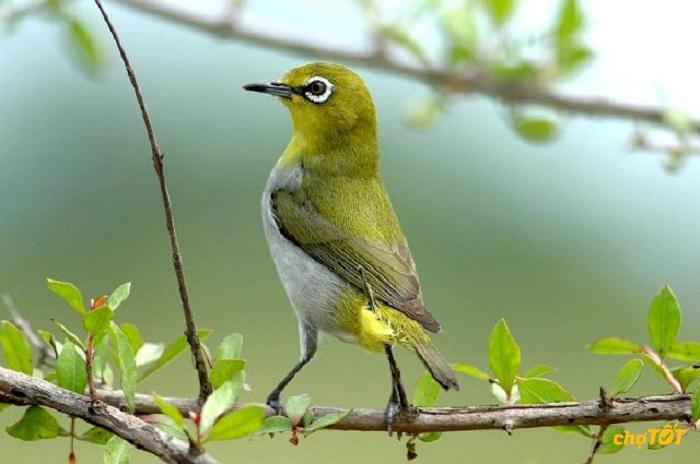 Huấn luyện chim vành khuyên bổi