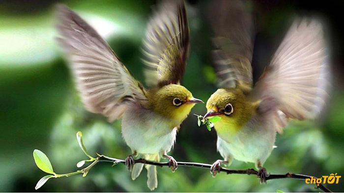 Chim vành khuyên trống và mái
