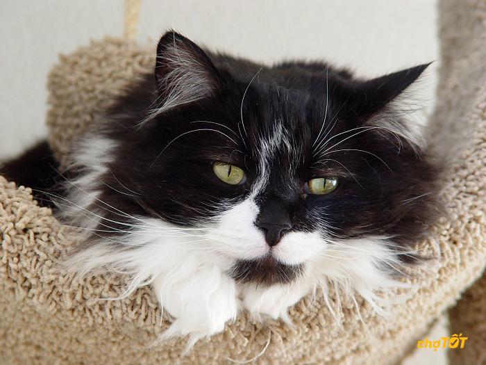 Chăm sóc mèo tuxedo lông dài