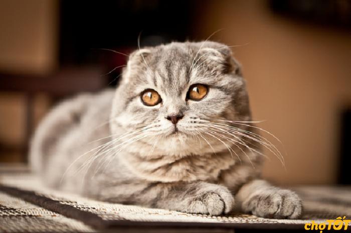 Mèo tai cụp sinh sản từ 4 tháng tuổi