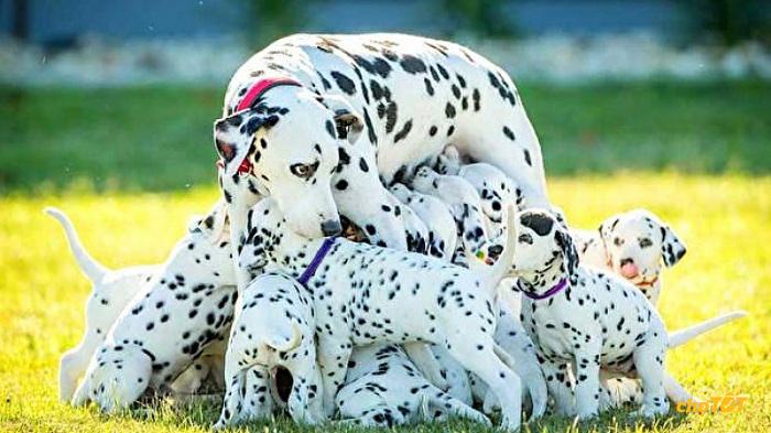 Chó đốm sinh được nhiều con