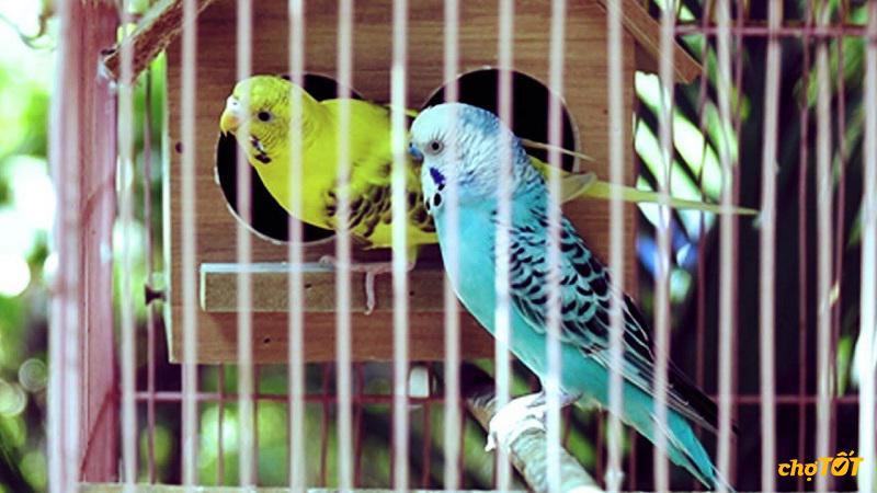 Các loài chim yến phụng