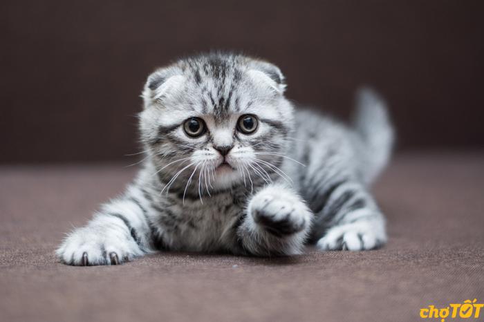 Mèo Munchkin Fold