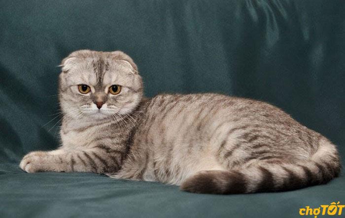 Ngoại hình dễ thương của mèo tai cụp