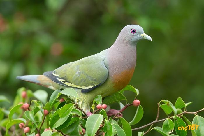 Tập tính sinh sản của chim bồ câu