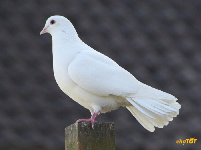 Mua chim bồ câu ở Chợ Tốt