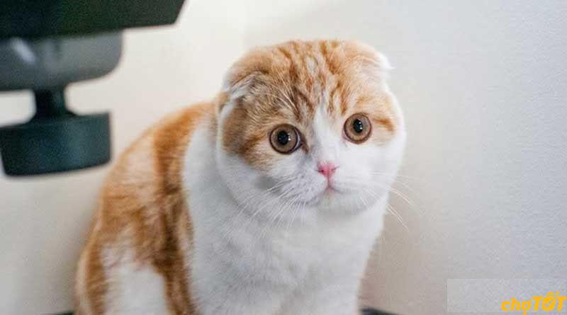 Nguồn gốc mèo tai cụp