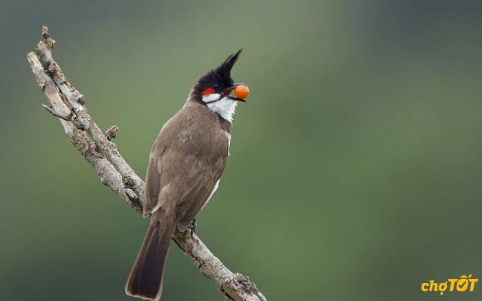 Nguồn gốc chim Chào Mào