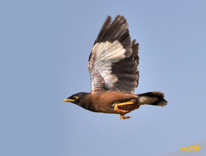 Chim sáo nâu