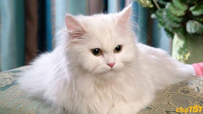 Mua bán mèo Ba Tư thuần chủng tại Chợ Tốt
