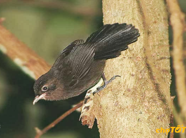 Chim khướu Mun