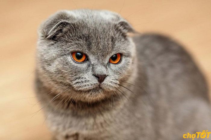 Chăm sóc bộ lông cho mèo tai cụp