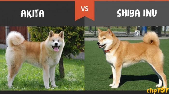 Phân biệt Akita và Shiba