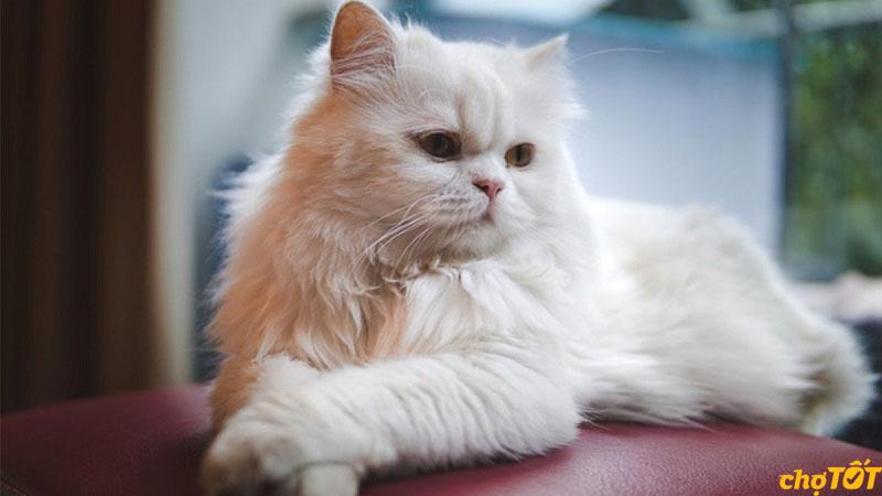 Mèo 34 có xuất xứ từ quốc gia Ba Tư