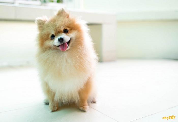 Phòng bệnh cho chó Fox lai nhật