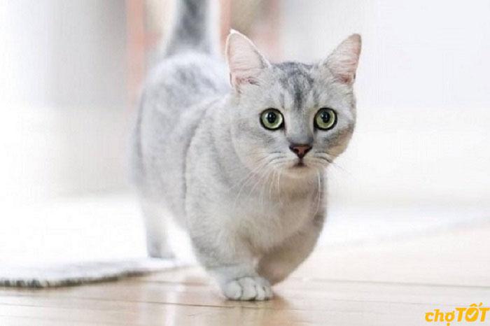 Mèo Munchkin ưa khí hậu mát mẻ