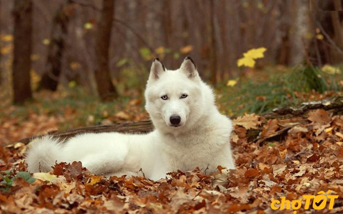 Nguồn gốc chó Husky