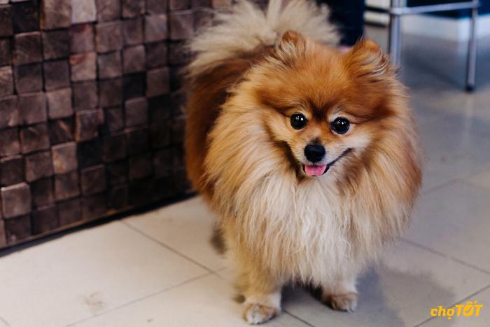 Mua bán chó Fox lai Nhật trên Chợ Tốt