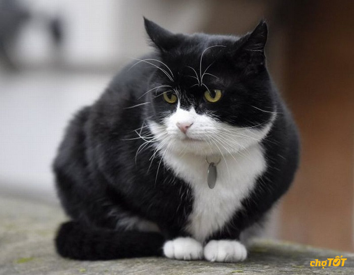 Mèo Tuxedo ăn gì
