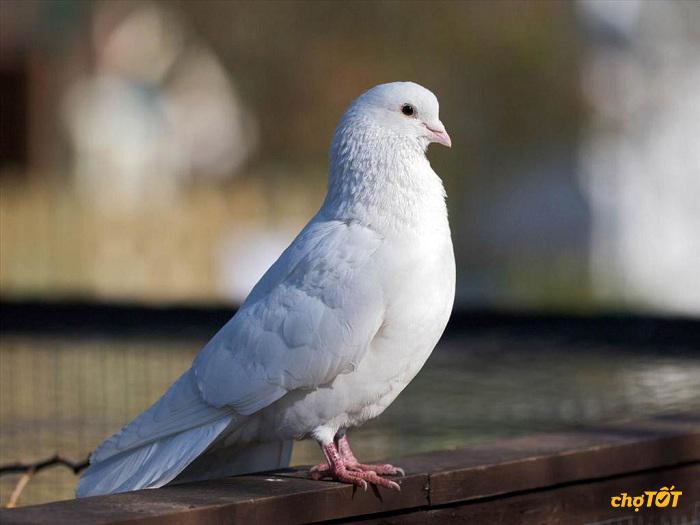 Bệnh thường gặp ở chim bồ câu
