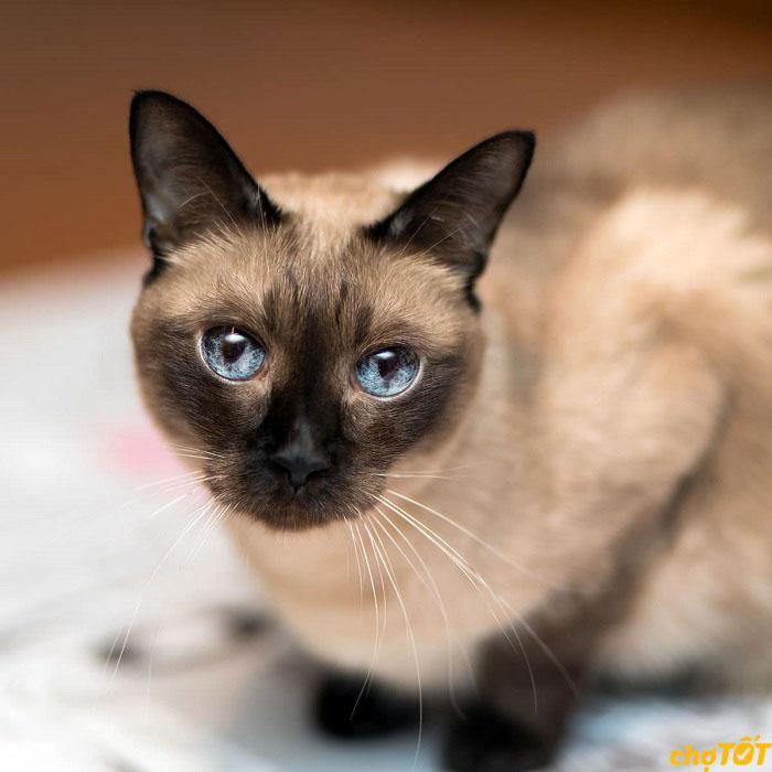 Mua mèo xiêm thuần chủng tại Chợ Tốt