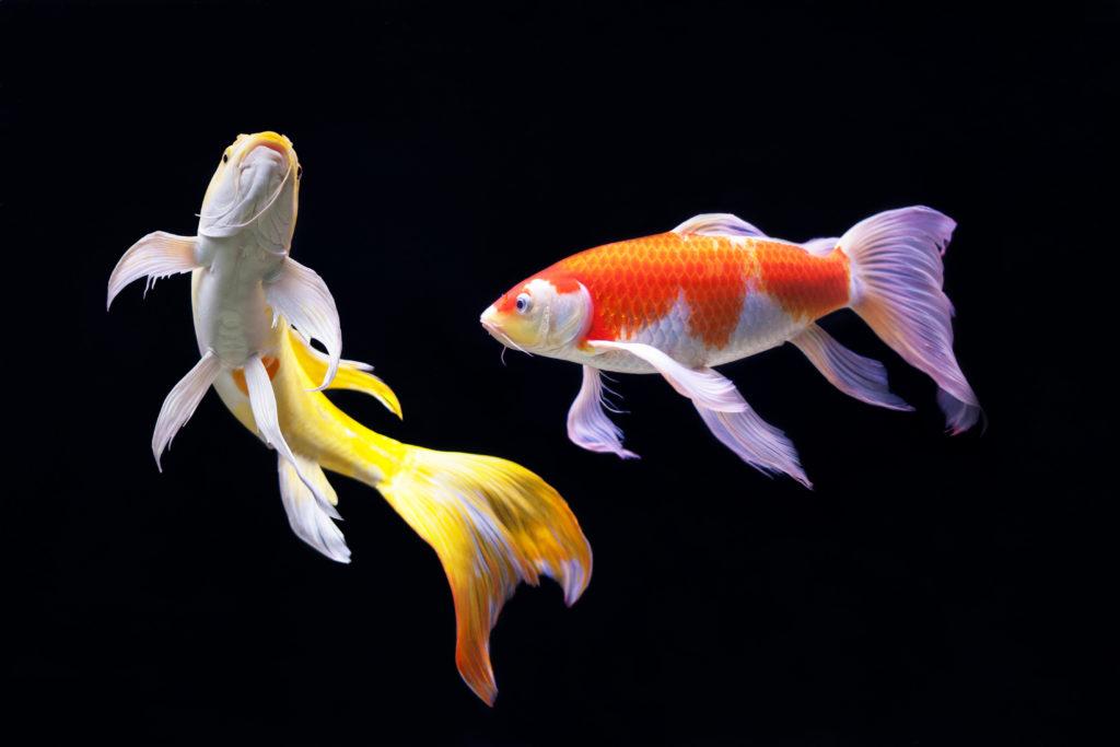 cá koi đang là giống cá được nuôi phổ biến