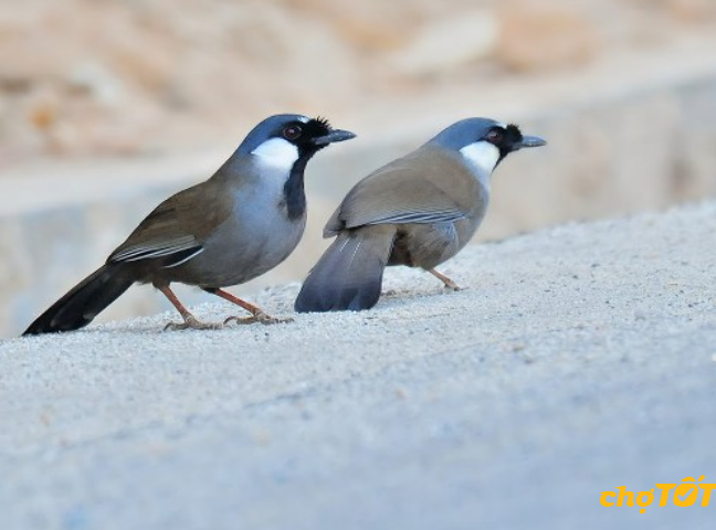 TÍnh cách của chim Khướu