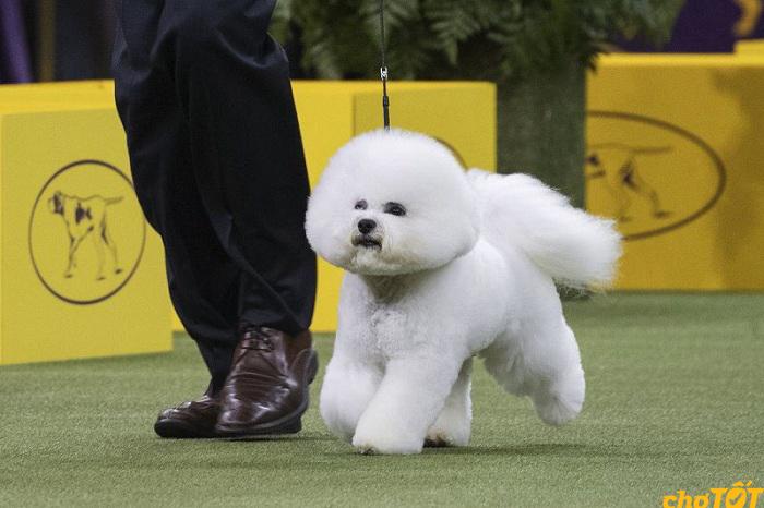 Chó Bichon khá giống với chó Poodle
