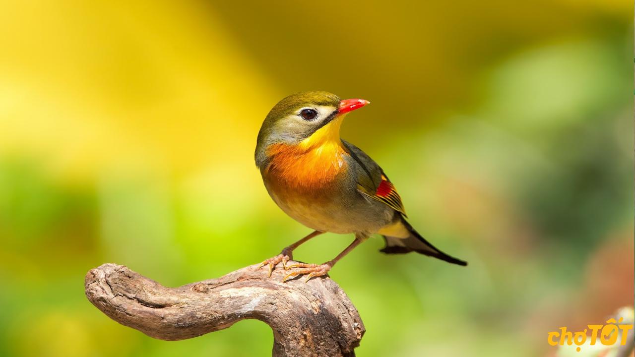 Nguồn gốc chim quế lâm