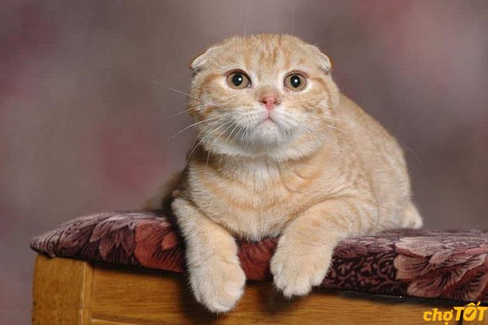 Mèo tai cụp ăn gì