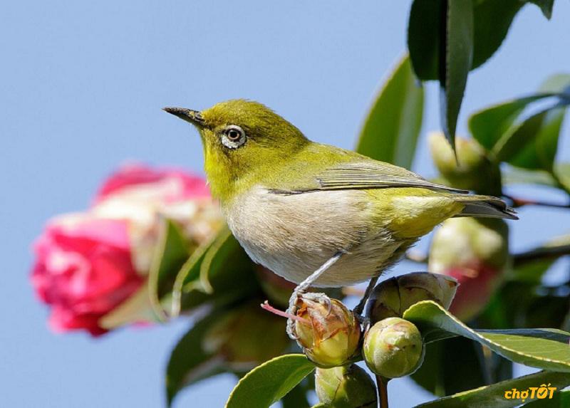 Nguồn gốc chim vành khuyên